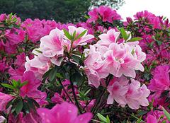 想要在家中养殖四季杜鹃花 掌握方法是最主要的