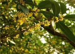 八月桂花树怎么种植好 有哪些方法呢