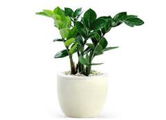植物金钱树怎么样 常见的作用有哪些