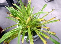 盆栽植物叶子变黄的主要原因是什么 你了解多少