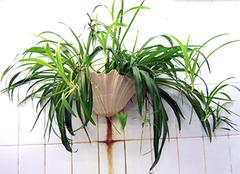 除苯植物详细解析 让家居远离笨危害