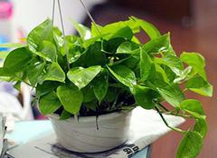 家中养殖绿萝的优点有哪些 你一定都不了解