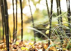 紫竹养殖栽培技巧有哪些 让生活多一分别致优雅