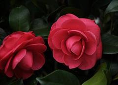 如何在家中养殖山茶花 掌握技巧才能开出更美花朵