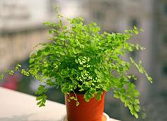 家中养殖铁线蕨技巧有哪些 为家居带来轻盈绿色