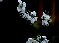 梅花栽培有哪些实用技巧 为你带来凛冬中的芬芳