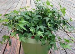常春藤在养殖的时候要注意哪些 想要成活很简单