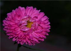 翠菊花如何养殖才能更茂盛 方法要用对