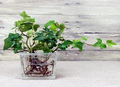耐涝的盆栽植物有哪些 哪种适合你