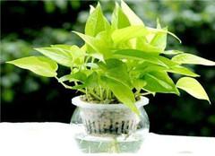 水培绿萝烂根了怎么处理 有哪些预防办法呢