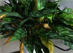 黑美人植物盆栽应该如何养殖 有哪些好的方法呢