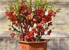四季秋海棠应该如何养护 有哪些好的方法呢