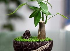 发财树怎么换盆好 土壤问题是关键