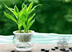 水养富贵竹营养液如何把控 切勿盲目添加