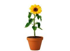 盆栽向日葵应该如何施肥 要注意哪些细节呢