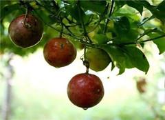 盆栽百香果应该如何施肥 要掌握哪些技巧呢