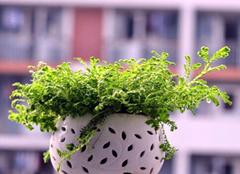 净化室内空气的三种盆栽植物  家居必备