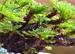 怎样提高树桩盆景的成活率 常见的方法有哪些