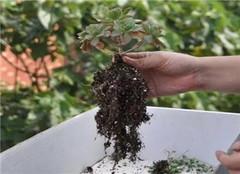 多肉植物应该如何洗根 常见的方法有哪些呢