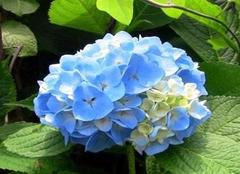 绣球花四季养护有哪些注意点  美需要守护