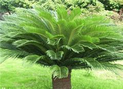 铁树盆栽养护应该注意哪些 想开花也是也很容易的