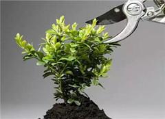 白玉兰盆栽应该怎么养好 要注意哪些呢