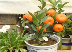 柑橘盆栽应该如何种植 要注意方面呢