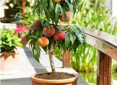 桃树盆栽应该如何种植 你也可以试试
