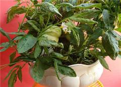 怎么制作人参果盆栽 常见的方法有哪些呢