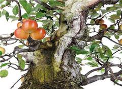 苹果树盆栽应该怎么养护 常见的方法有哪些