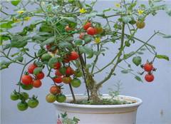圣女果盆栽应该怎么种植 常见的方法有哪些