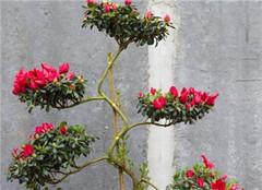 杜鹃花卉怎么扦插 常见的繁殖方法有哪些