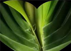 君子兰盆栽如何过冬 怎么养好呢