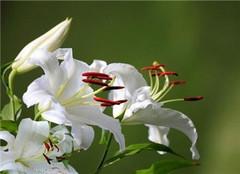 百合花应该如何种植 常见的方法有哪些