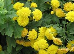 四季菊花卉应该如何养护 常见的方法有哪些