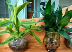 水培植物烂根应该如何处理 常见的方法有哪些