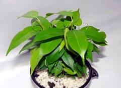 净化能力强的盆栽有哪些  还你清新空气