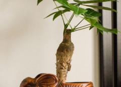 发财树怎么养护 让家居环境财光满照