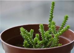 多肉植物如何防寒 常见的方法有哪些