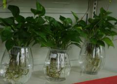水培绿萝怎么养才对 细节问题一定要重视
