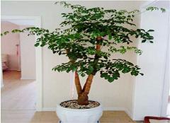幸福树的养殖方法和注意事项 这么养殖才靠谱