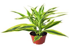 富贵竹的养殖方法和注意事项 这些要记牢