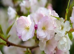 四季海棠的养护方法  让花朵更娇艳