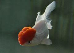 鹤顶红金鱼是什么 其有哪些特点呢
