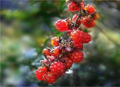  山莓和覆盆子有什么不同 常见的区别有哪些呢