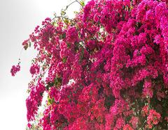 从风水上介绍办公桌上放什么植物好 三角梅盆栽怎么样