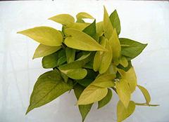 绿萝叶子发黄怎么办 适宜温度很重要