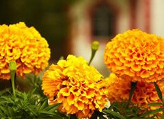 万寿菊如何在家中养殖 花香带来长寿意