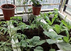 在阳台种菜需要注意什么 绿色食物自己就能种植