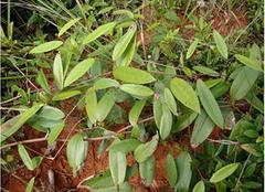 土茯苓的种植情况介绍 探寻前世今生